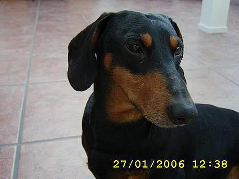 Gravhund Kvik R I P 3 Love You Billeder Af Hunde Uploaded Af