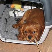 Cavalier king charles spaniel Lucy