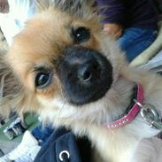 Chihuahua Chili
