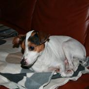 Dansk svensk gaardhund Albert