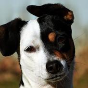 Dansk svensk gaardhund Dina