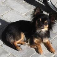Chihuahua Jessi