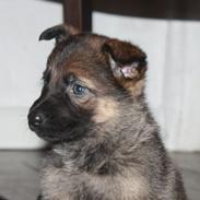 Schæferhund Tobila's Viva