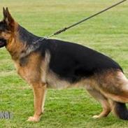 Schæferhund Lyagers Come On Corba