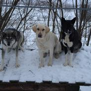 Siberian husky CITA LULU SALI
