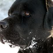 Labrador retriever Albert<3