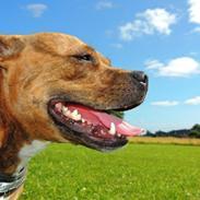 Staffordshire bull terrier Hailie - Staffroyals Flying Female