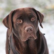 Labrador retriever Santos