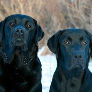 Labrador retriever Cody (Juni's Timon)