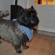 Cairn terrier Thomsen