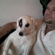 Dansk svensk gaardhund Holger