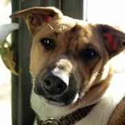 Dansk svensk gaardhund Nicki