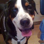 Grosser schweizer sennenhund Geske