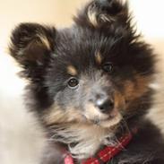 Shetland sheepdog Jessie
