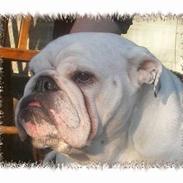 Engelsk bulldog Hertha. R.I.P 26-06-2012