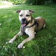 Amerikansk staffordshire terrier - Bailey