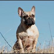 Fransk bulldog Celina Heavenly Misha