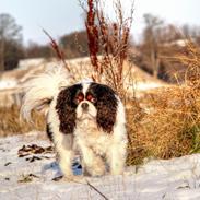 Cavalier king charles spaniel Bergkamp - Himmelhund
