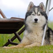 Siberian husky | Jeyzi