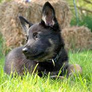 Schæferhund Rebus/Bailey