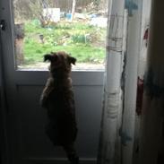 Border terrier lillepige (Didi)