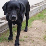 Labrador retriever Lady