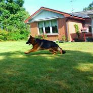 Schæferhund Santo (Nørrehedens Djibo)