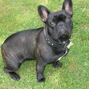 Fransk bulldog Cleo