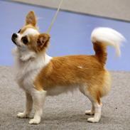 Chihuahua Gela