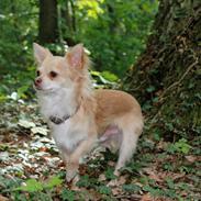 Chihuahua Cody