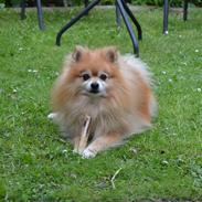 Pomeranian Louie