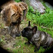 Fransk bulldog Diva