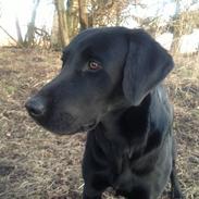 Labrador retriever Dumle - Min bedste ven