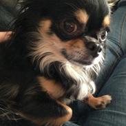 Chihuahua Dalle