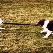 West highland white terrier Mille