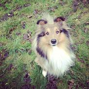 Shetland sheepdog Peanut