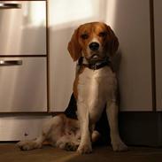 Beagle Bob RIP 22/10-2017