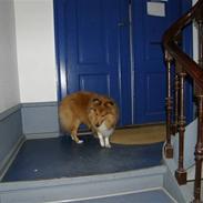 "Shetland sheepdog Watson ""Danger"" McFluff"
