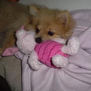 Pomeranian Mille