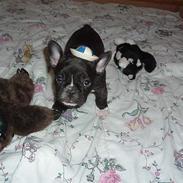 Fransk bulldog Alfredo