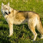 "Tamaskan Dog Indiana - ""Matsi"""