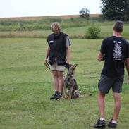 Schæferhund Ricla's Angus