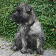 Cairn terrier Mille