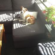 Dansk svensk gaardhund Charlie