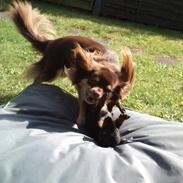 Chihuahua Peanut