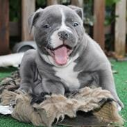 Olde english bulldogge GroovyBulls Marylin Monroe (Amiee)