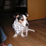 Jack russell terrier Trunte