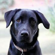 Labrador retriever Alba