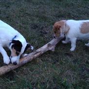 Jack russell terrier Eddie