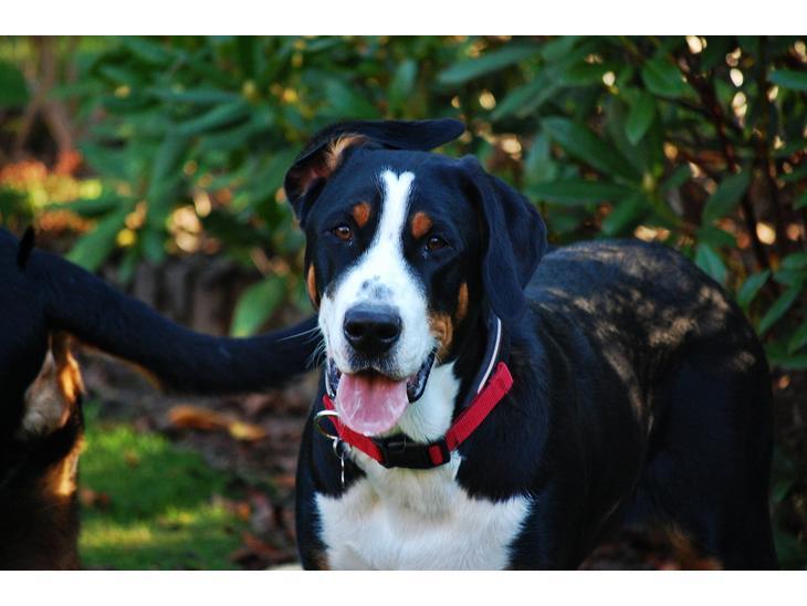 Grosser Schweizer Sennenhund Temperament